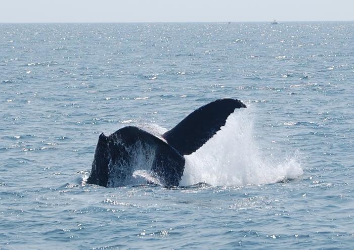 Humpback Whales 1