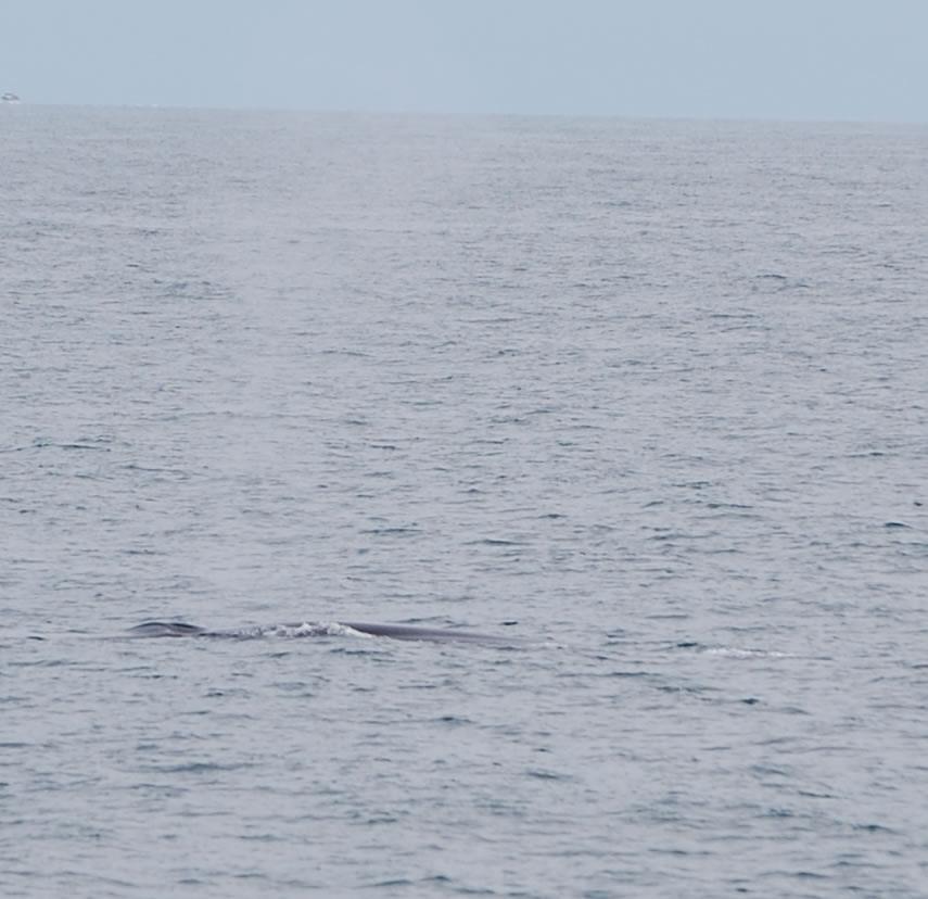 Fin Whale 10