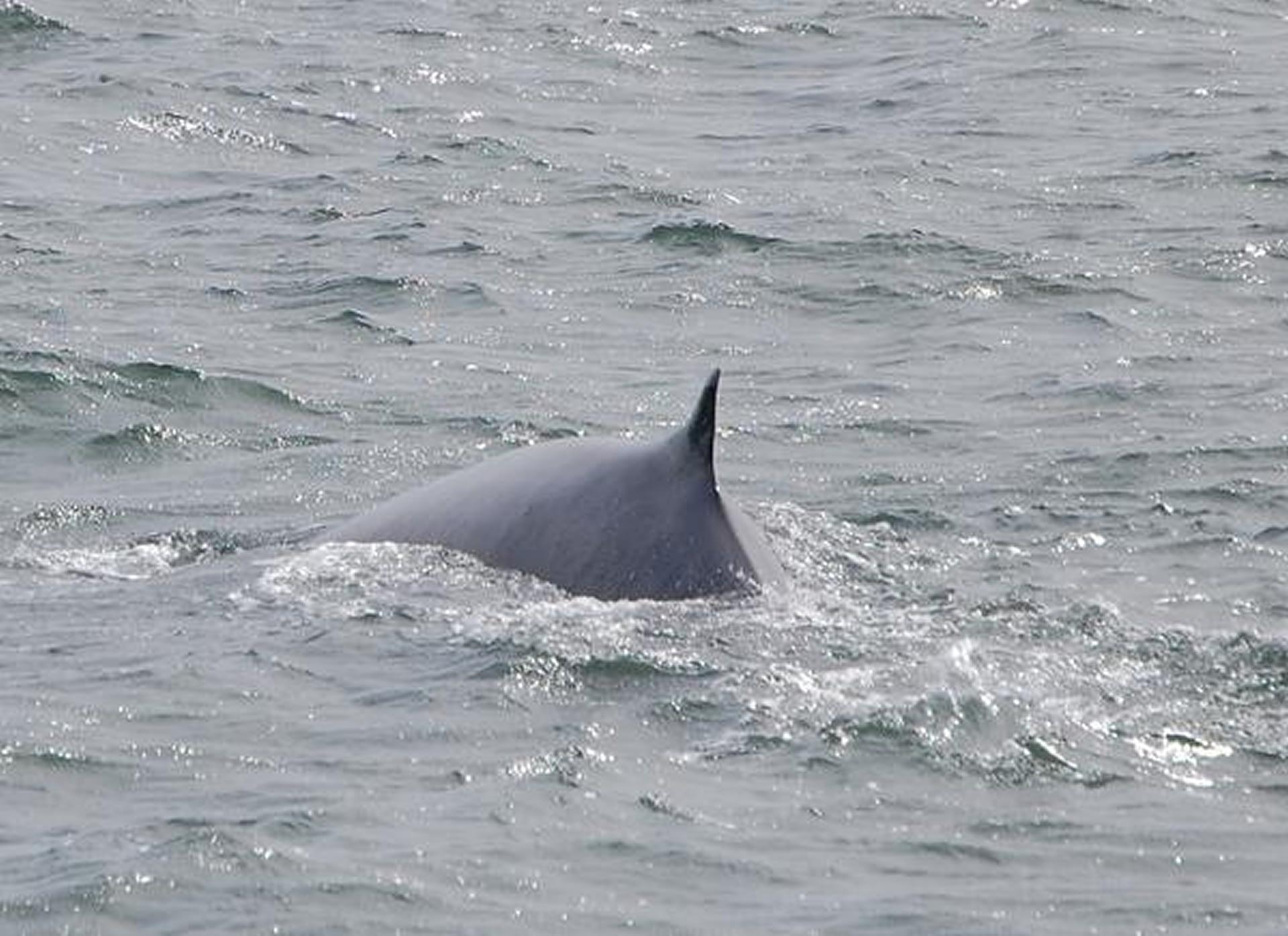 Fin Whale 13