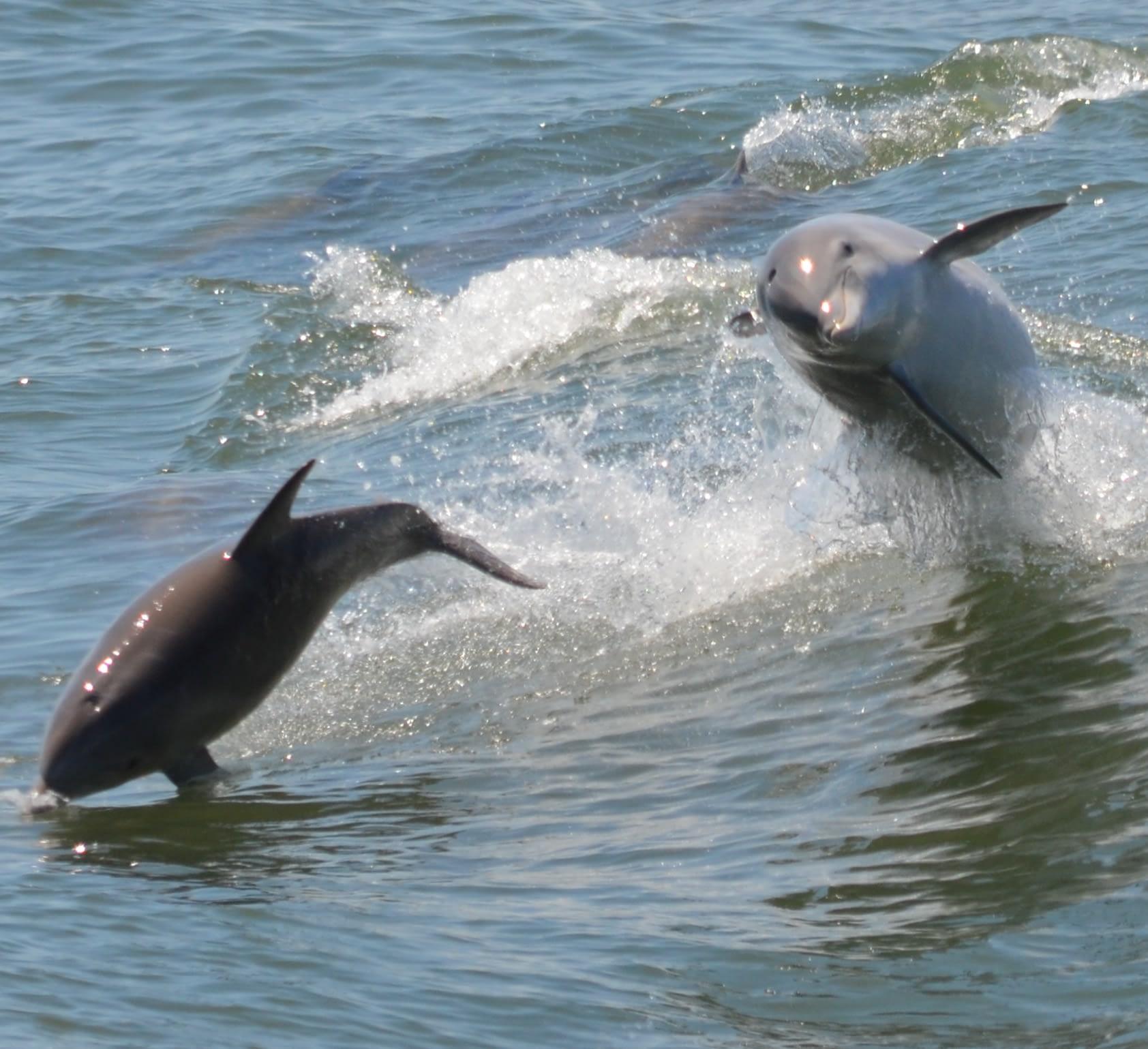 Bottlenose Dolphins 13