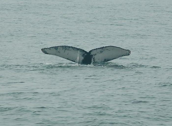 Humpback Whales 8