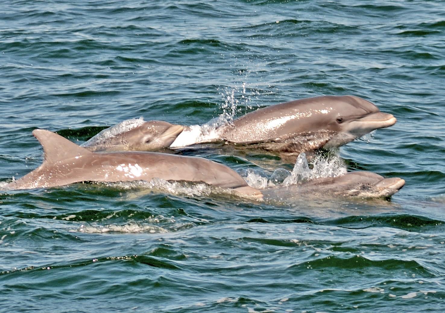 Bottlenose Dolphins 6