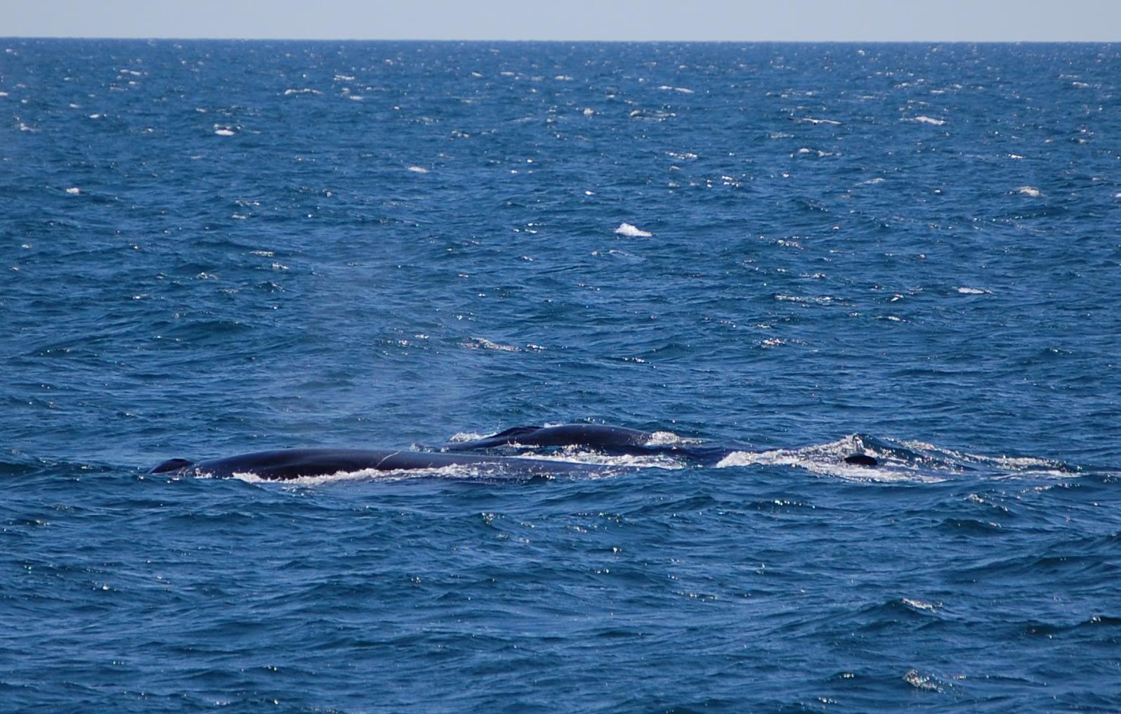 Fin Whale 5