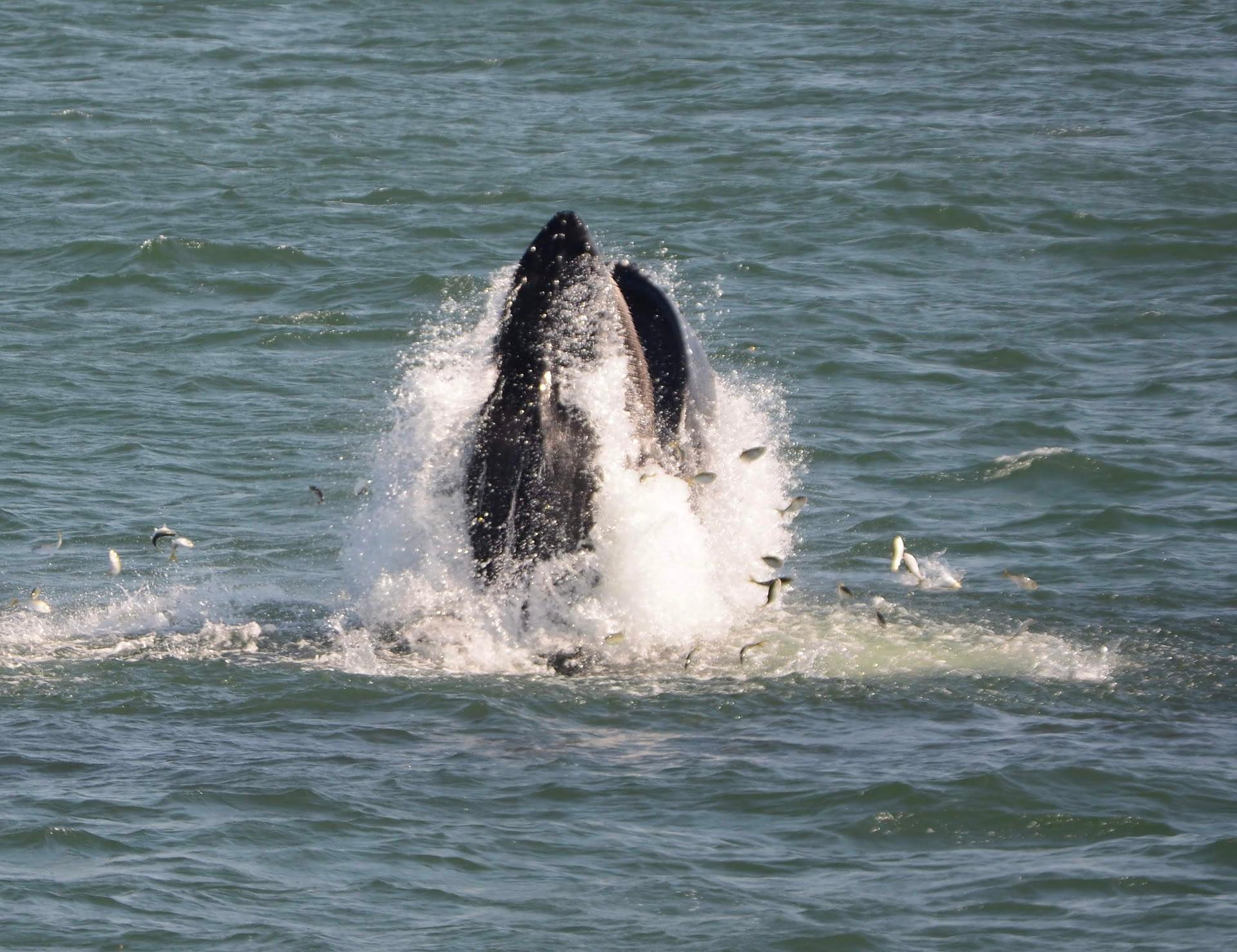 Humpback Whale 15 lunge feeding