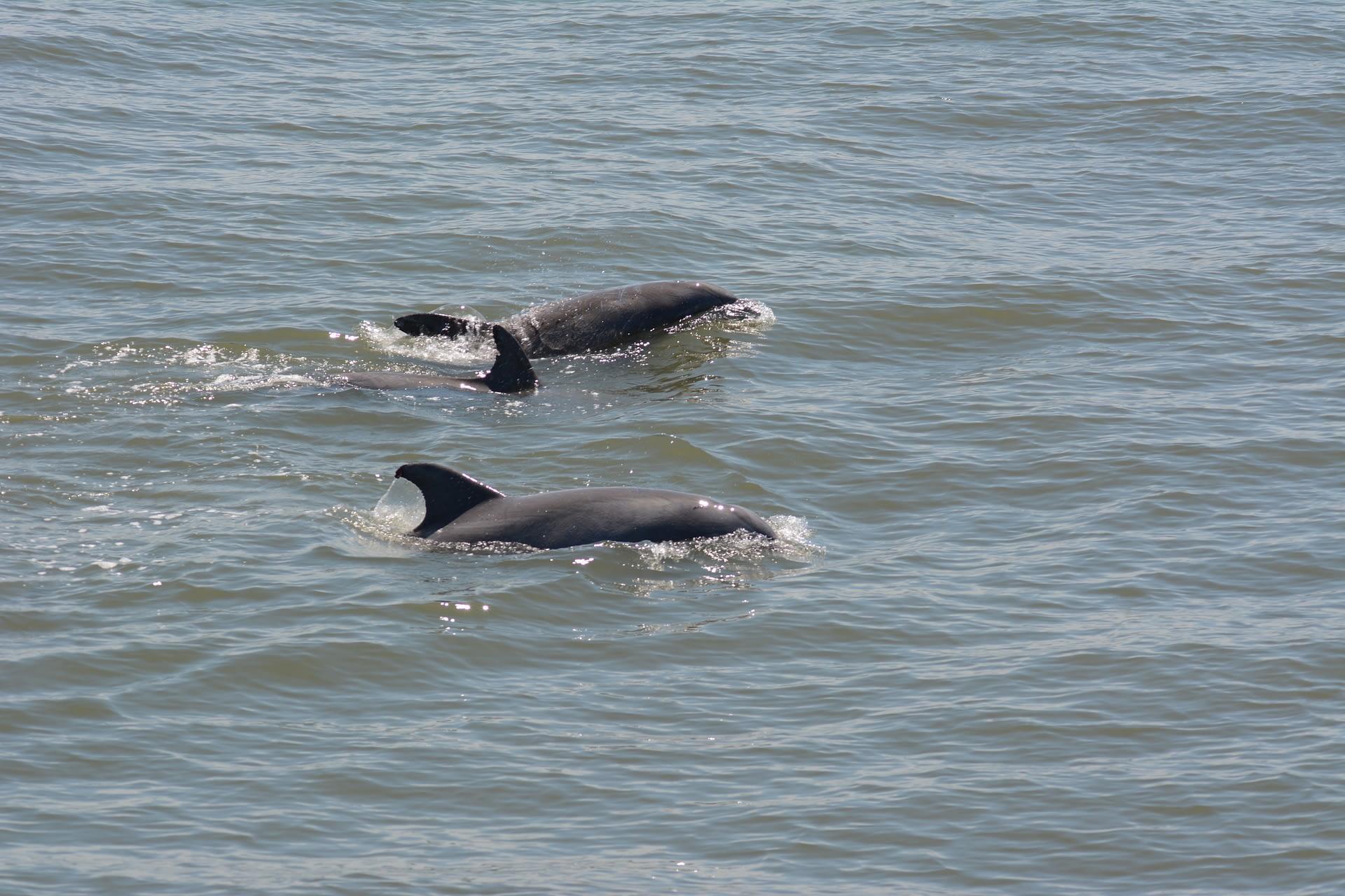 Bottlenose Dolphins 1