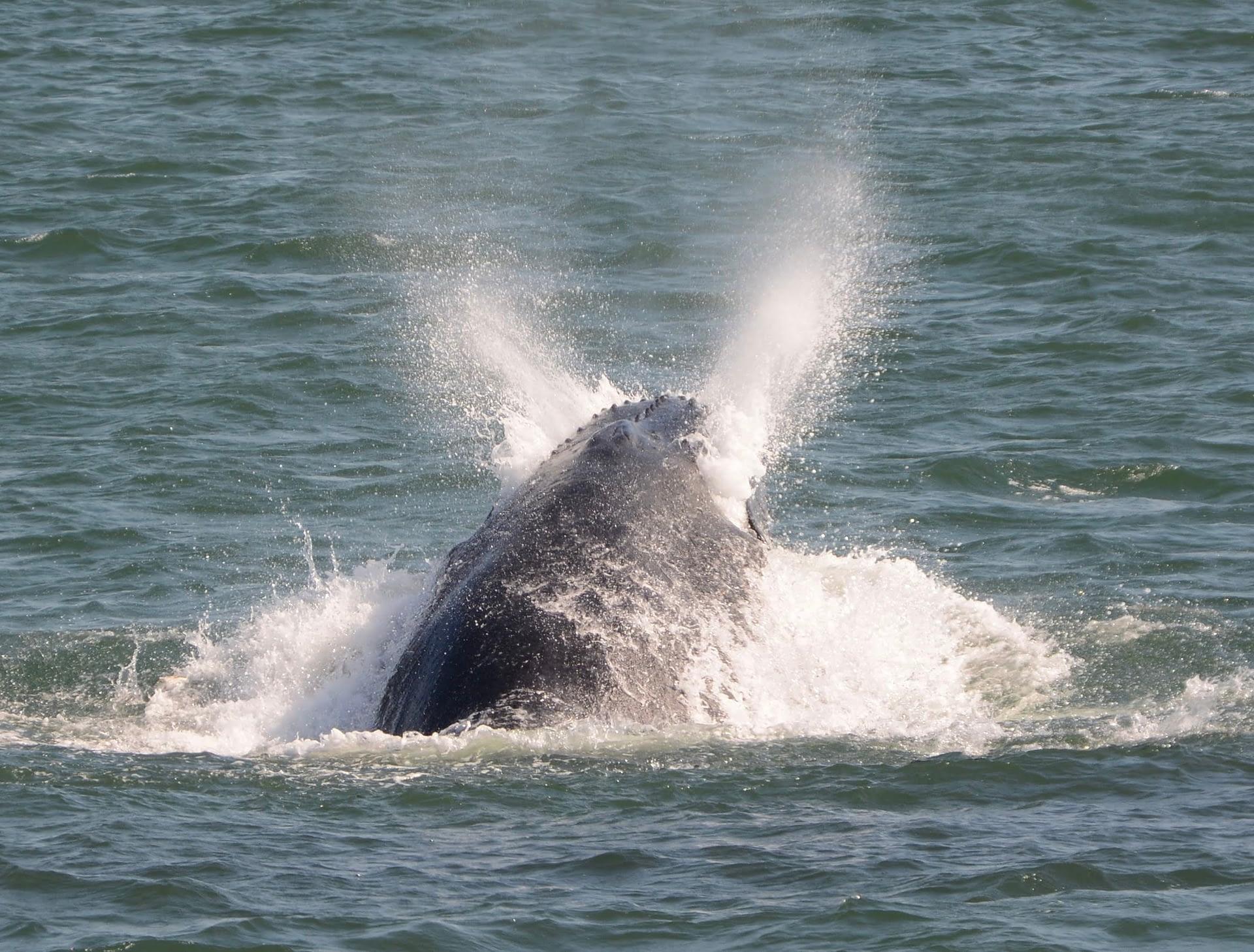 Humpback Whale 16 lunge feeding on bunker