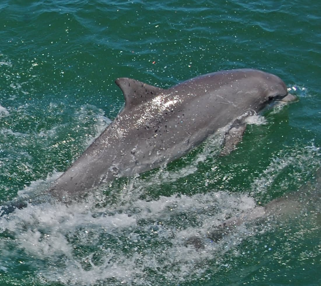 Bottlenose Dolphins 10