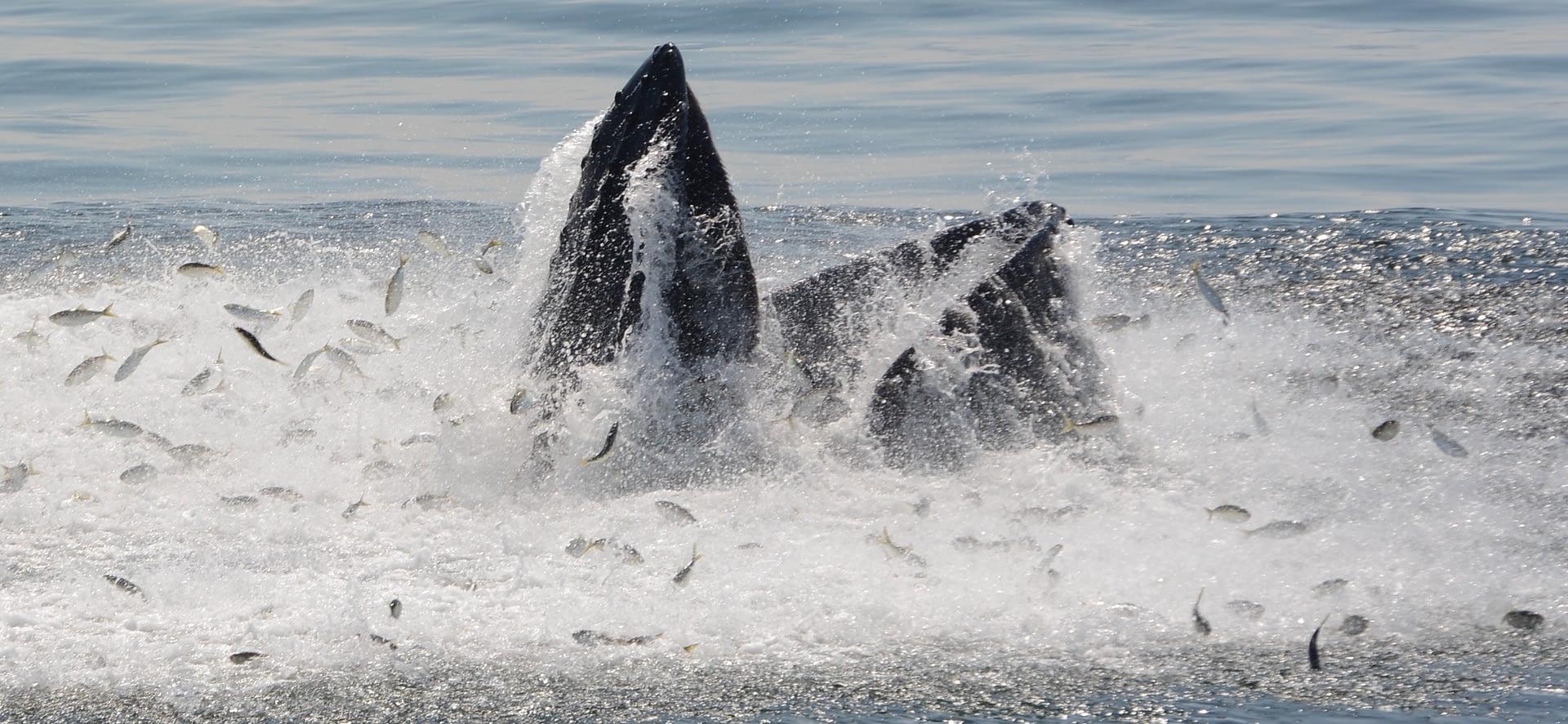 Humpback Whale 17 lunge feeding on bunker