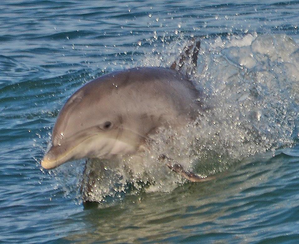 Bottlenose Dolphins 5