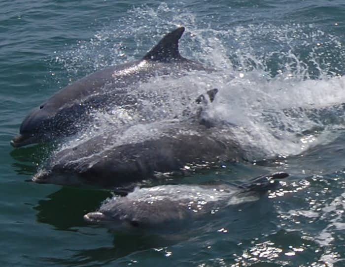 Bottlenose Dolphins 3