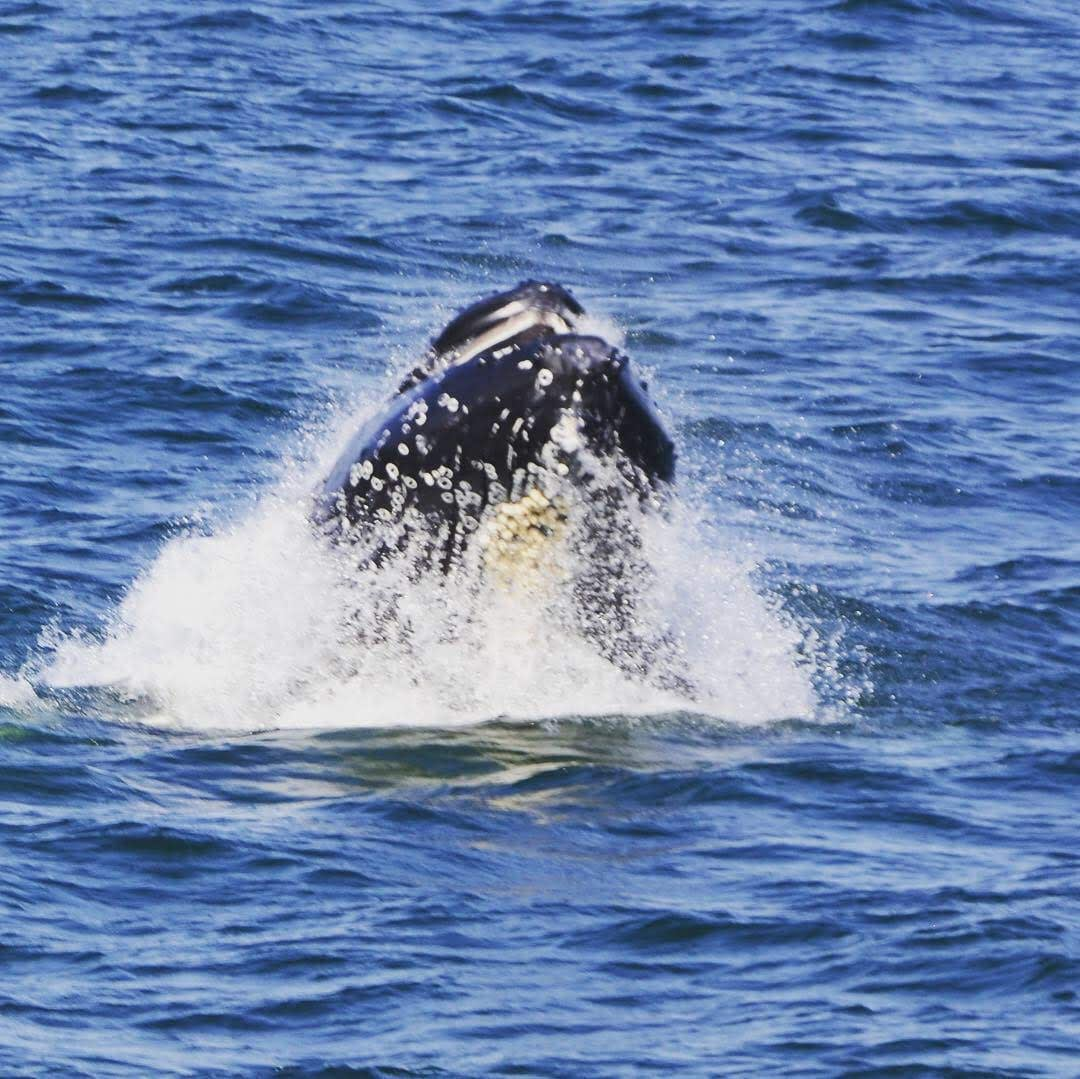 Humpback Whales 9