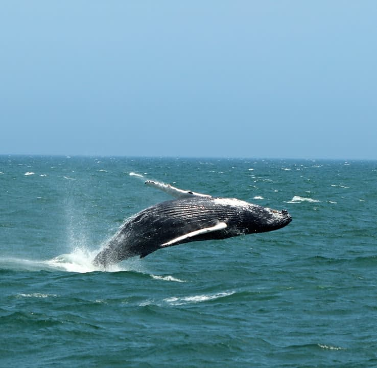 Humpback Whales 5