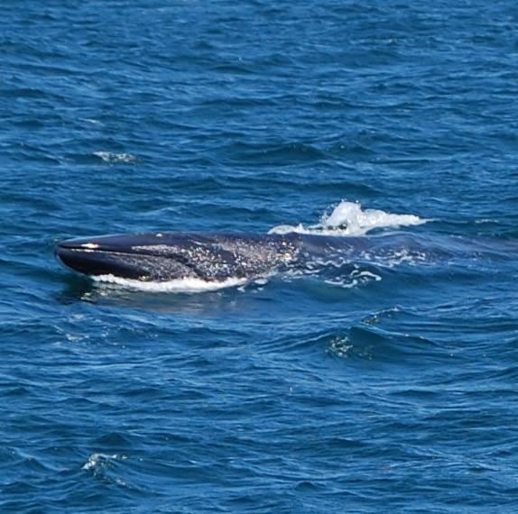 Fin Whale 14