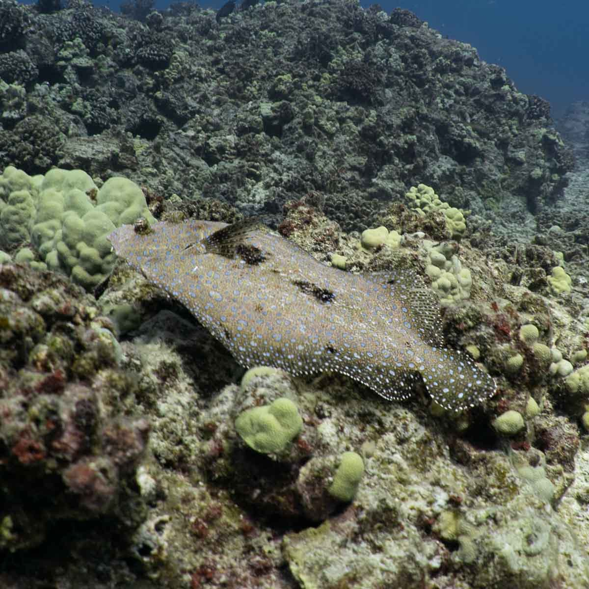 Scuba-Diving-Hawaii-Kona-Honu-Divers-7