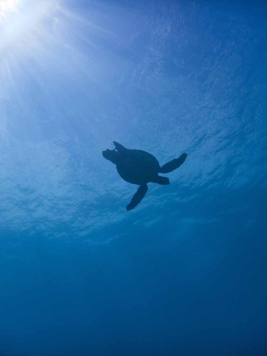 Scuba-Diving-Hawaii- -Kona-Honu-Divers-105