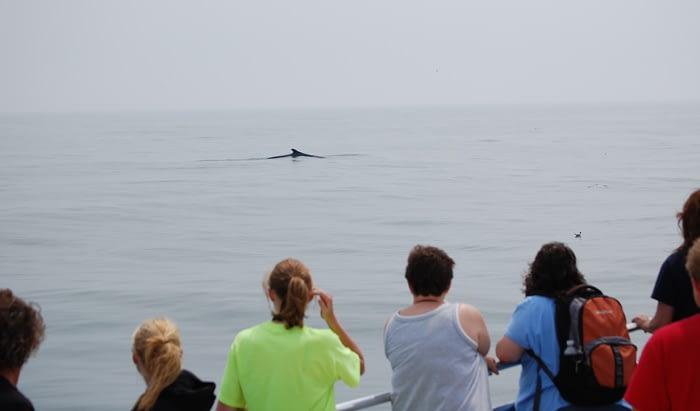 Humpback Whales 11