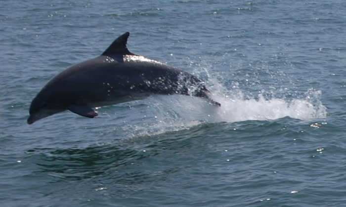 Bottlenose Dolphins 7