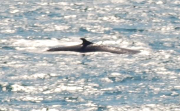 Fin Whale 8