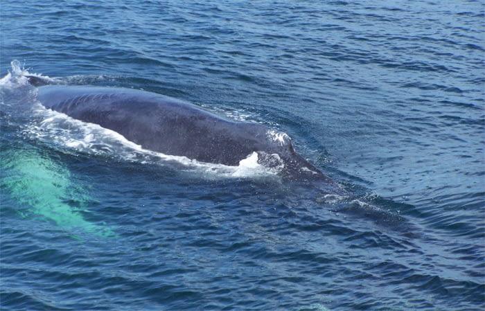 Humpback Whales 6