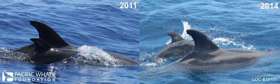This mother and calf pair was sighted on August 6, 2011 and again on August 12, 2014.