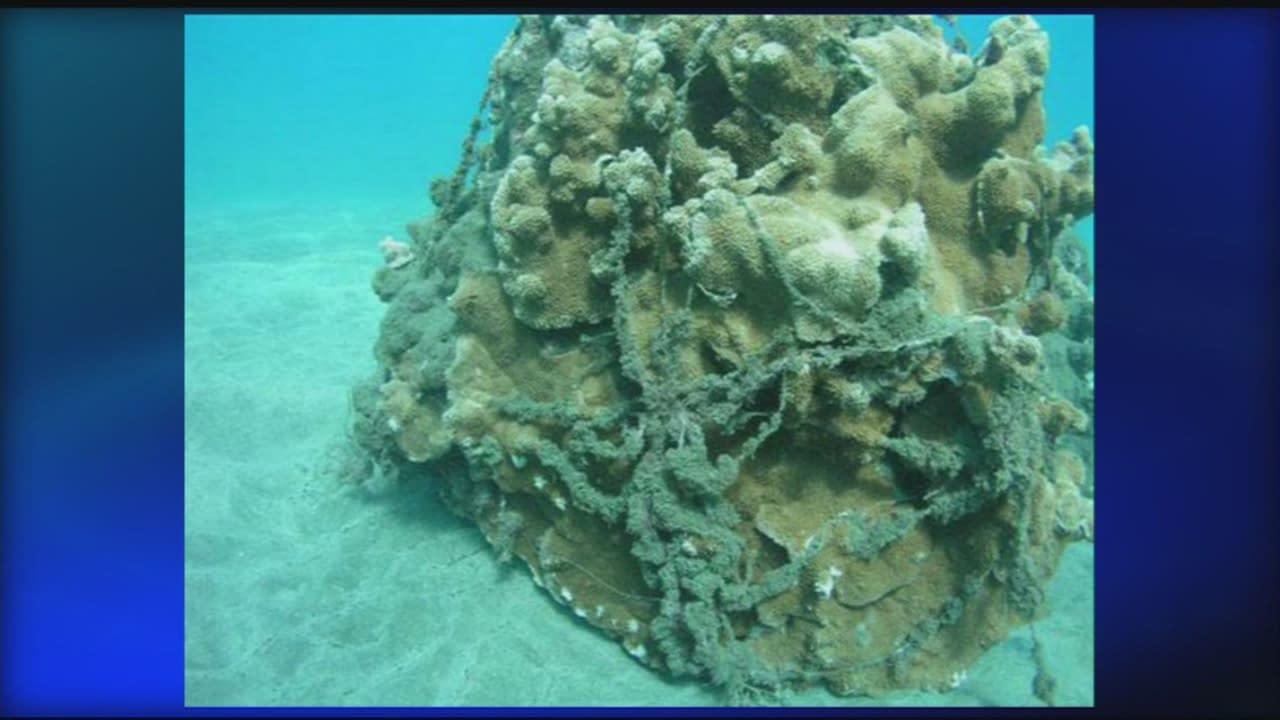 Fishing line wrapped around a coral head (Maui)