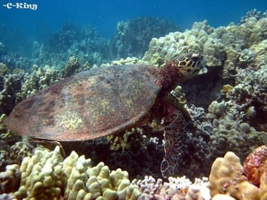 Adult Hawksbill Turtle. Photo courtesy of Cheryl King, Hawaii Wildlife Fund.