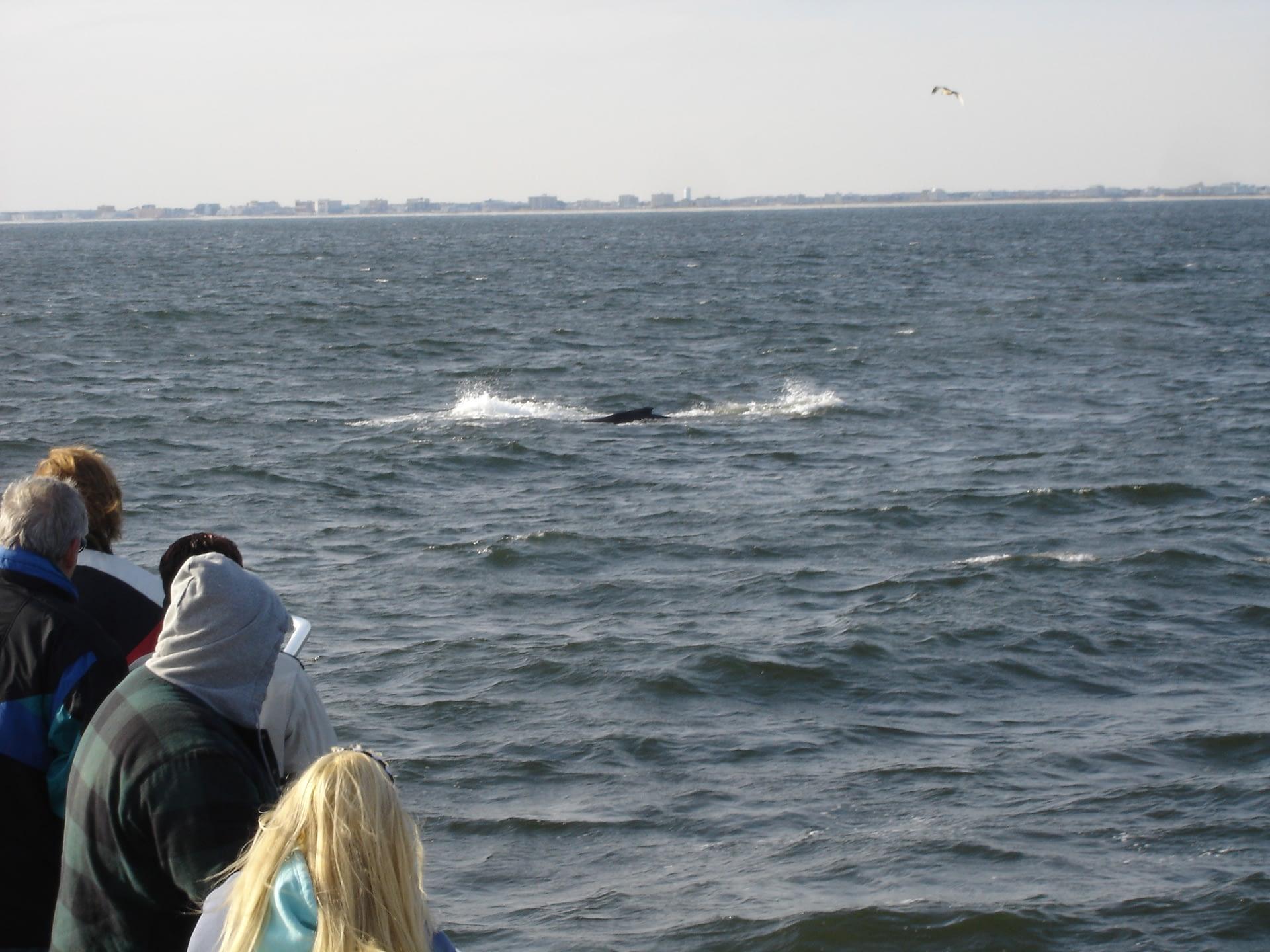 Fin Whale 2