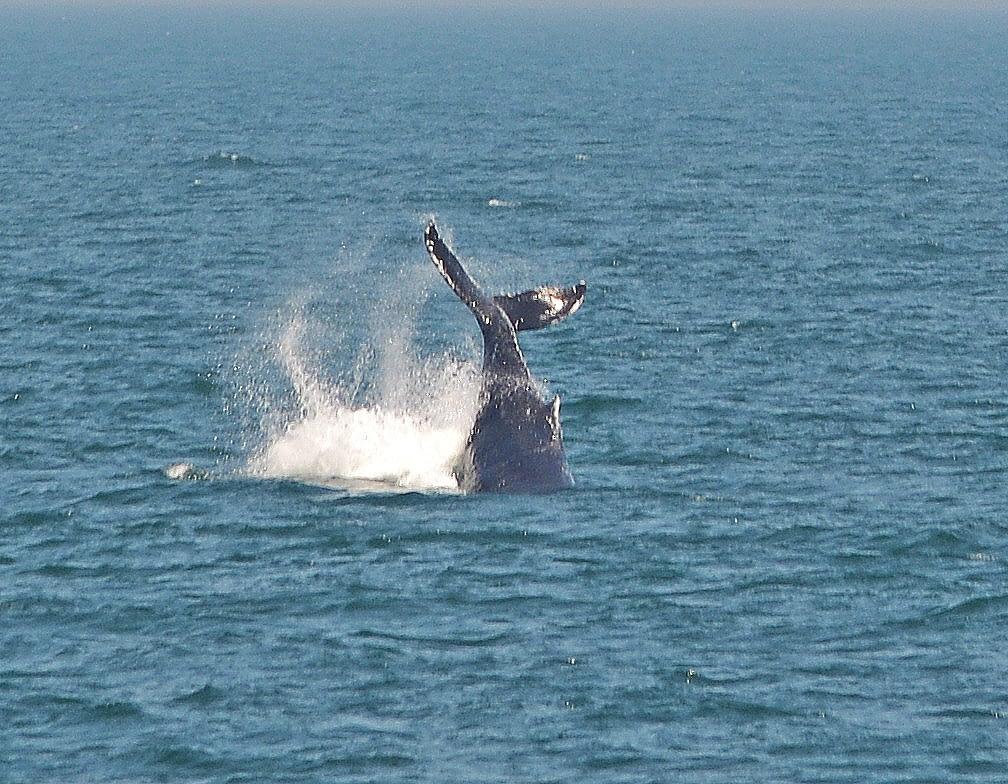 Humpback Whales 13