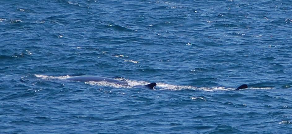 Fin Whale 4