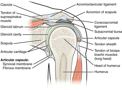 Anatomy of the shoulder.